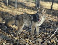 coyote_grey_1_thumb.jpg